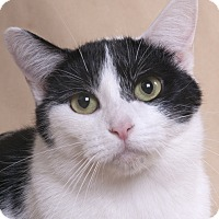 Domestic Shorthair Cat for adoption in Chicago, Illinois - Millicent