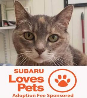 Domestic Shorthair/Domestic Shorthair Mix Cat for adoption in Eugene, Oregon - Sophie