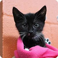 Adopt A Pet :: Darci - Sarasota, FL