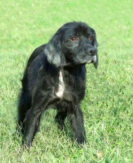 Cocker Spaniel Mix Dog for adoption in Glen Allen, Virginia - Jeffrey *Foster*