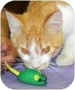 Domestic Shorthair Cat for adoption in Murphysboro, Illinois - Magnum