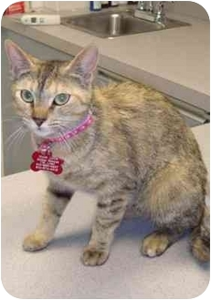 Domestic Shorthair Kitten for adoption in Los Angeles, California - Cheese