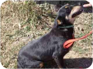 Rottweiler/Shepherd (Unknown Type) Mix Dog for adoption in Edon, Ohio - Pumpkin