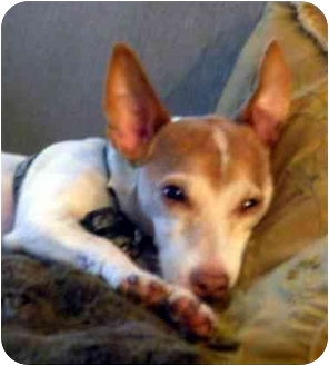 Jack Russell Terrier Mix Dog for adoption in Rhinebeck, New York - Timmie