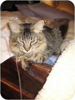 Maine Coon Cat for adoption in Little Falls, New Jersey - Burton (kl)