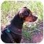Photo 2 - Miniature Pinscher/Terrier (Unknown Type, Medium) Mix Dog for adoption in Sedona, Arizona - Holly
