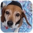 Photo 1 - Beagle Dog for adoption in Indianapolis, Indiana - Freddy
