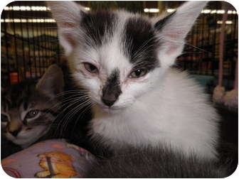 Domestic Shorthair Kitten for adoption in Warren, Michigan - Spot