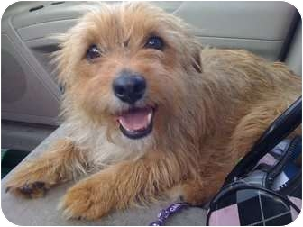Terrier (Unknown Type, Medium) Mix Dog for adoption in Chilliwack, British Columbia - TUCKER