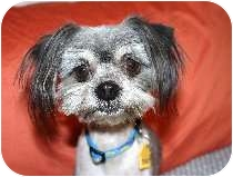 Shih Tzu/Terrier (Unknown Type, Small) Mix Dog for adoption in Bellflower, California - Virgil