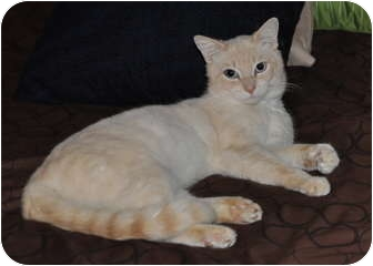 Colorpoint Shorthair Cat for adoption in San Diego, California - Tiger