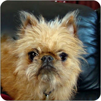 Brussels Griffon Puppy for adoption in Lemont, Illinois - BAXTER  - in Mazon, IL.