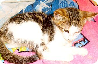 Domestic Shorthair Kitten for adoption in West Palm Beach, Florida - EENIE MEENIE