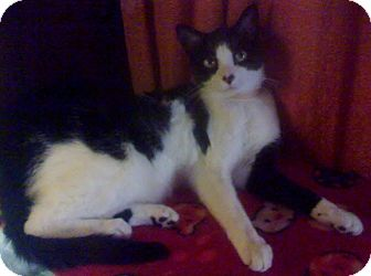 Domestic Shorthair Cat for adoption in Fairborn, Ohio - Elle