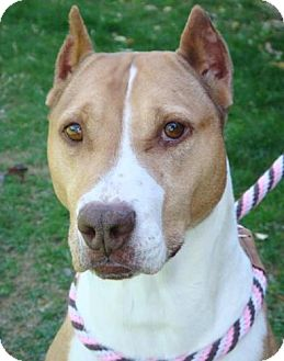 American Pit Bull Terrier Mix Dog for adoption in Red Bluff, California - Chantilly-$45 Adoption Fee