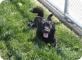 Schipperke Mix Dog for adoption in Yuba City, California - Elvis