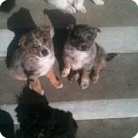 Adopt A Pet :: aussie pups - Alliance, NE