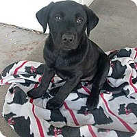 Adopt A Pet :: TILLY - Lab/Boxer Pup - Alliance, OH