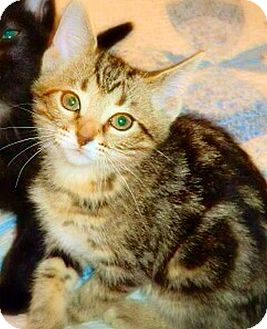 Domestic Shorthair Kitten for adoption in Green Bay, Wisconsin - Los Angeles
