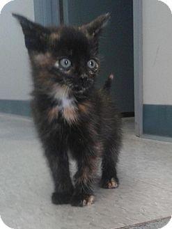Domestic Shorthair Kitten for adoption in Sunderland, Ontario - Danielle