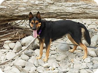 German Shepherd Dog Mix Dog for adoption in BC Wide, British Columbia - Coco