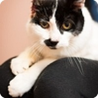 Adopt A Pet :: Miss Cambridge - Vancouver, BC