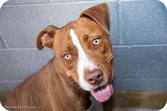 American Pit Bull Terrier Mix Dog for adoption in Sierra Vista, Arizona - Rusty