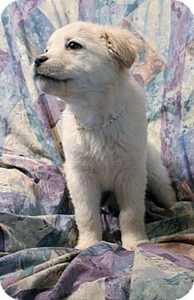 Retriever (Unknown Type)/Shepherd (Unknown Type) Mix Puppy for adoption in Cooperstown, New York - Dolly