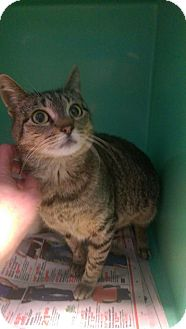 Domestic Shorthair Cat for adoption in East Brunswick, New Jersey - Lilly