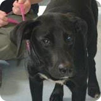 Labrador Retriever Mix Dog for adoption in Media, Pennsylvania - NERO
