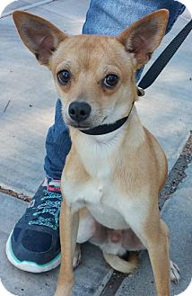 Manchester Terrier/Chihuahua Mix Dog for adoption in Phoenix, Arizona - FELIX