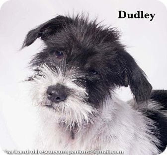 Wirehaired Fox Terrier/Terrier (Unknown Type, Medium) Mix Puppy for adoption in Baton Rouge, Louisiana - Dudley