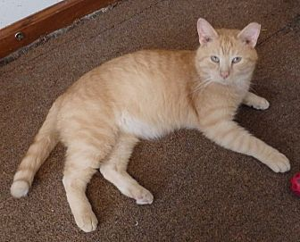 Domestic Shorthair Cat for adoption in Speedway, Indiana - Rambo
