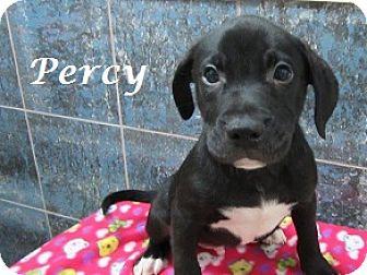 Labrador Retriever Mix Puppy for adoption in Bartonsville, Pennsylvania - Percy