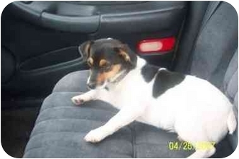 Jack Russell Terrier Dog for adoption in House Springs, Missouri - Tallie