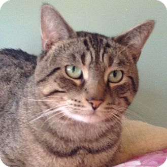 Domestic Shorthair Cat for adoption in Brimfield, Massachusetts - Gabriel
