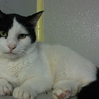 Domestic Shorthair Cat for adoption in Dallas, Texas - TRISTA
