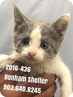 Domestic Shorthair Kitten for adoption in Bonham, Texas - 2016-436