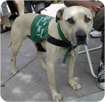Retriever (Unknown Type)/Rhodesian Ridgeback Mix Dog for adoption in Berkeley, California - Mick