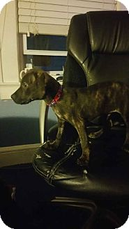 Boxer/Hound (Unknown Type) Mix Puppy for adoption in Old Bridge, New Jersey - Comet