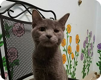 Domestic Shorthair Kitten for adoption in Elyria, Ohio - Francesca