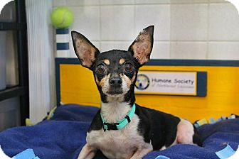 Chihuahua/Rat Terrier Mix Dog for adoption in Shreveport, Louisiana - Suzie Q