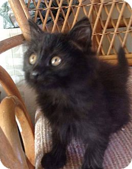 Domestic Longhair Kitten for adoption in Evans, West Virginia - Haven