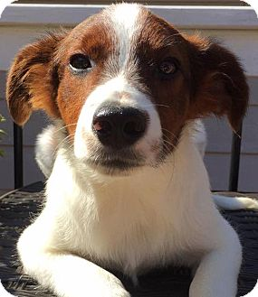 Collie Mix Puppy for adoption in CUMMING, Georgia - Nat