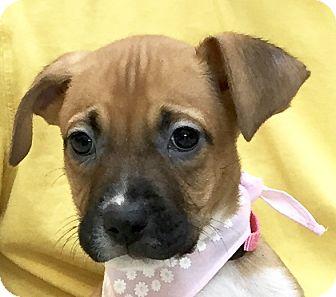 Labrador Retriever/Boxer Mix Puppy for adoption in Evansville, Indiana - Pluto