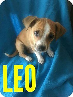 Chihuahua Mix Puppy for adoption in Mesa, Arizona - LEO - 10 WEEK CHIHUAHUA NEUTER