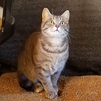 Hemingway/Polydactyl Cat for adoption in Kingston, Tennessee - Mitsey