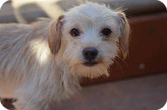 Miniature Schnauzer/Terrier (Unknown Type, Small) Mix Puppy for adoption in Sturbridge, Massachusetts - Annah