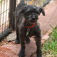 Adopt A Pet :: Blacky - Spring, TX