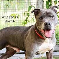 Adopt A Pet :: BARAK - Los Angeles, CA